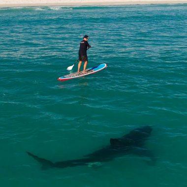 Shark circling paddle boarder